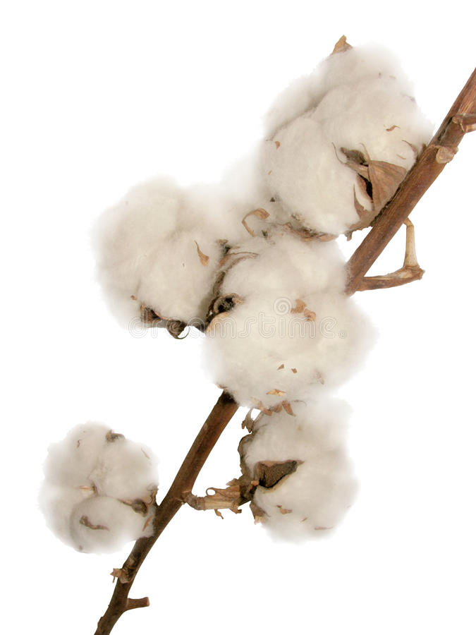Download Cotton Flowers Royalty Free Stock Image - Image: 25061516