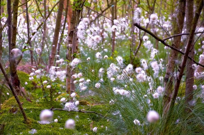 cotton gras vaginantum in moor landscape royalty free stock images