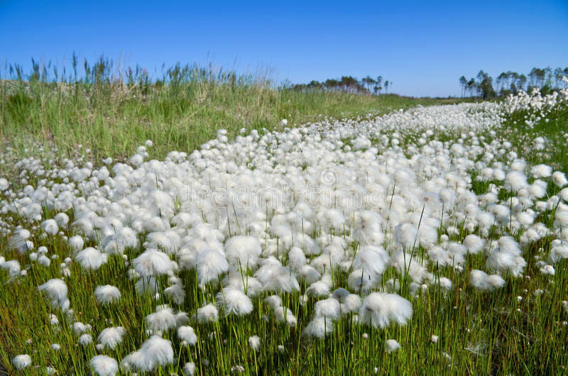 Download Cotton Grass stock image. Image of multi, bogs, peat - 20043313