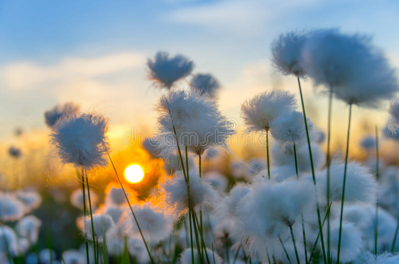 Cotton Grass. On a background of the sunset sky stock image