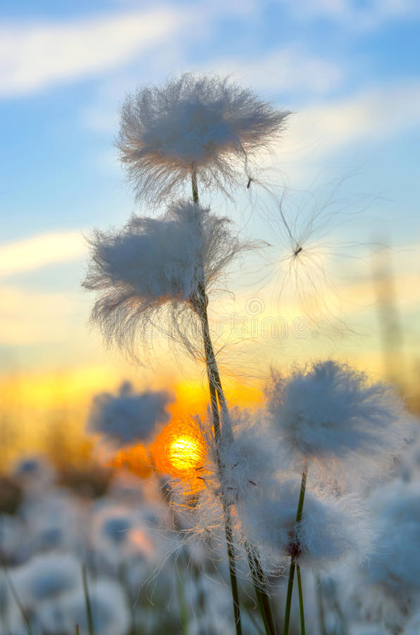 Cotton Grass. On a background of the sunset sky royalty free stock photo