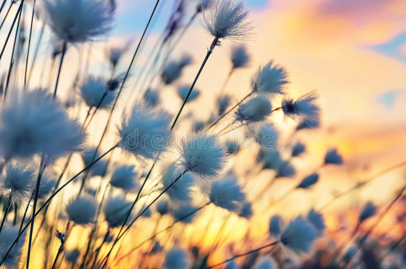 Cotton Grass. On a background of the sunset sky royalty free stock image