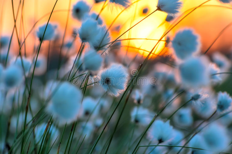 Cotton grass. On a background of the sunset sky stock photography