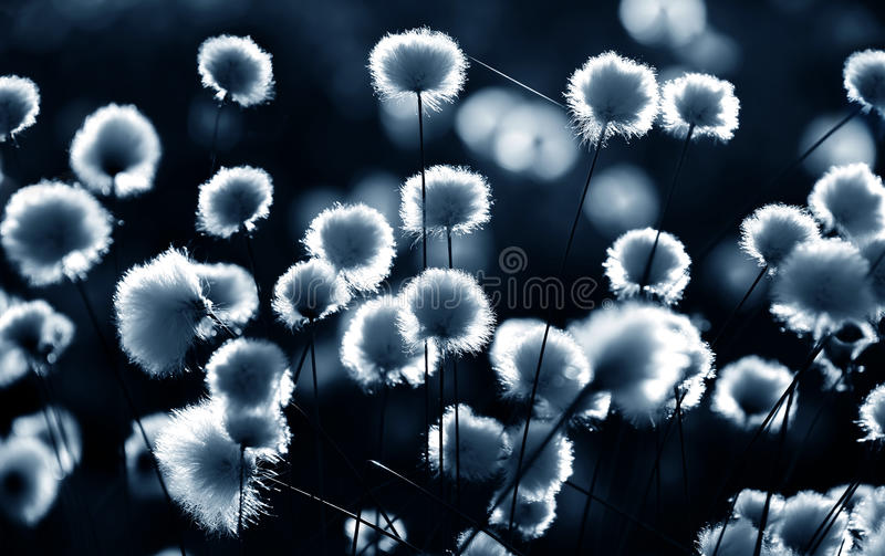 Cotton grass backlit. Cotton grass on the lake on a summer evening royalty free stock photo