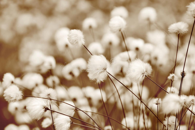 Cotton Grass. Blooming cotton grass in a swamp. Toning in sepia stock image