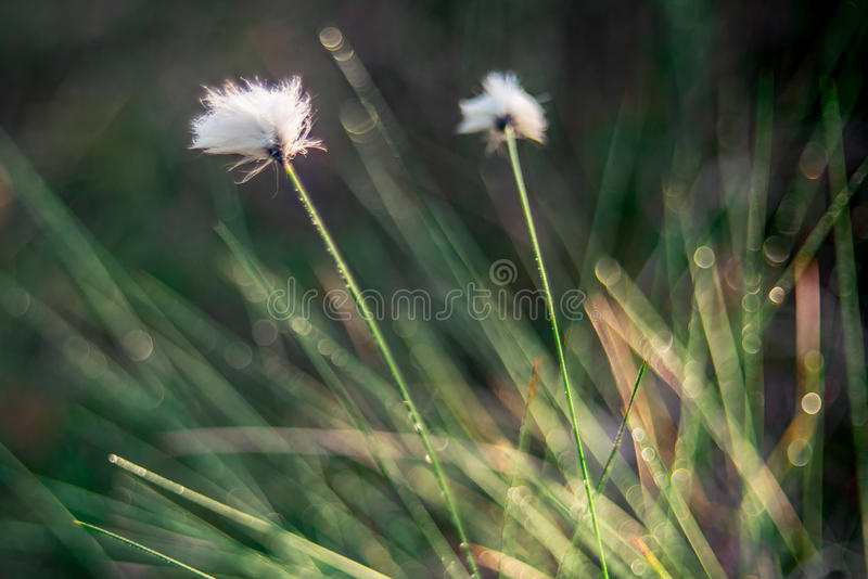 Cotton grass and bokeh. Cotton grass, Lithuanian marsh swamp plant blooming stock image