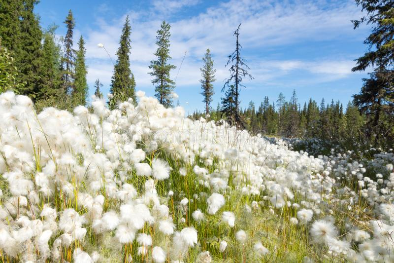 Cotton grass. In the wild forest among the marshes. Summer, Arkhangelsk Region, Russia stock photography