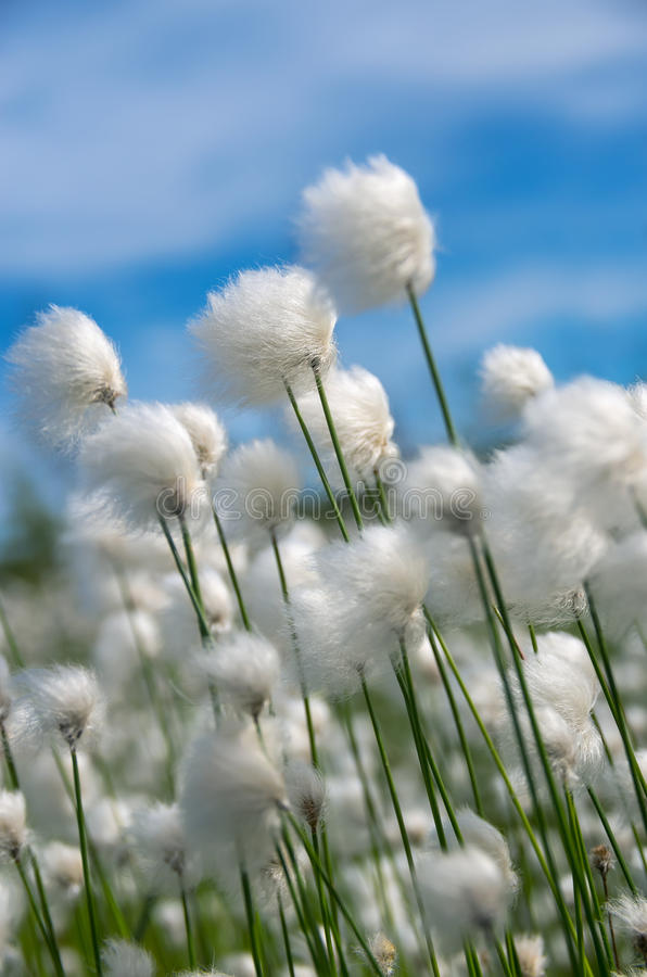 Cotton Grass. Flowering cotton grass on a background of blue sky stock photo