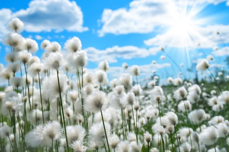 Cotton Grass. Flowering cotton grass on a background of blue sky stock images