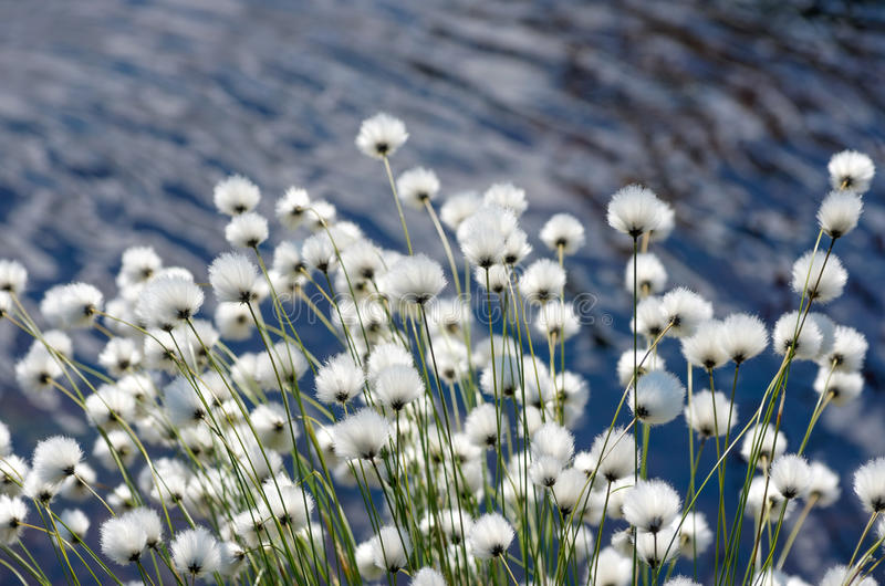 Cotton Grass. Flowering Cotton Grass on a Background of Water stock images