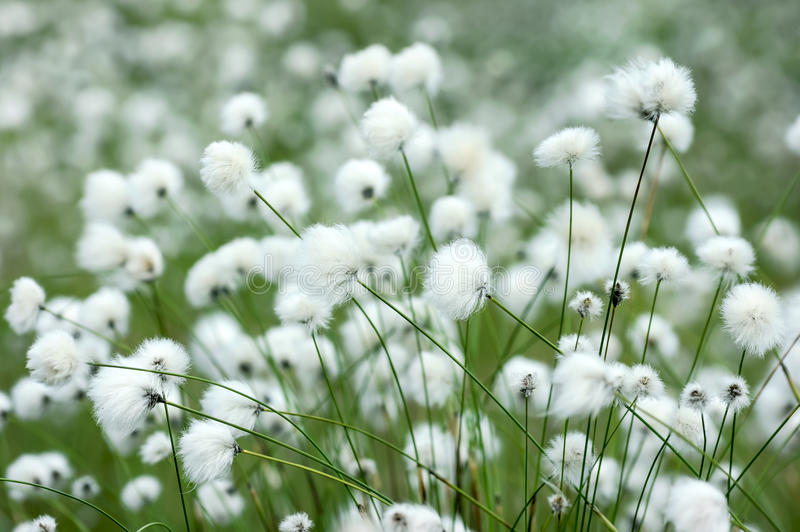Cotton grass. Flowering plants of cotton grass in swamp royalty free stock photos