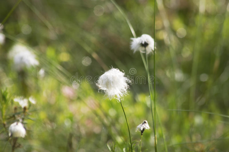 Cotton grass. In Lithuanian marsh royalty free stock photos