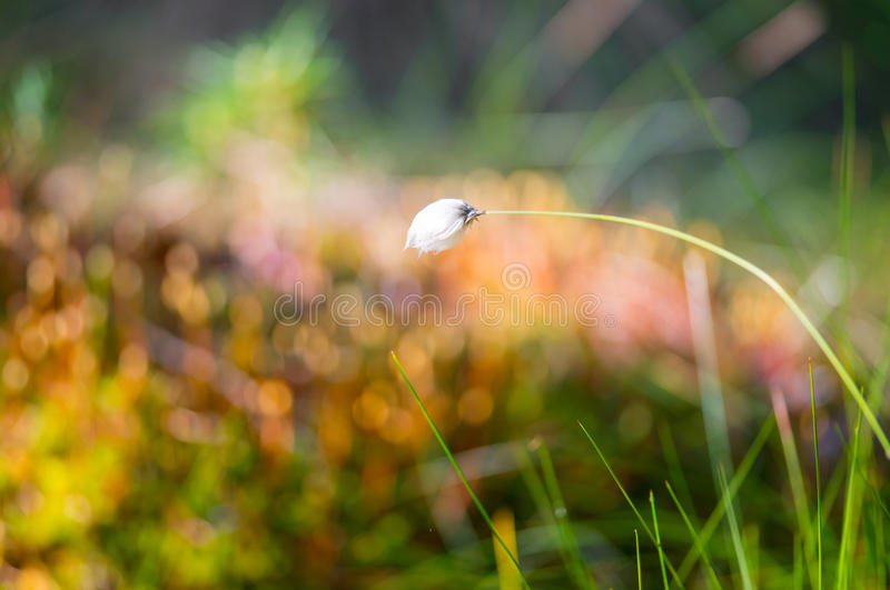 Cotton grass. Lithuanian marsh swamp plant blooming stock photo