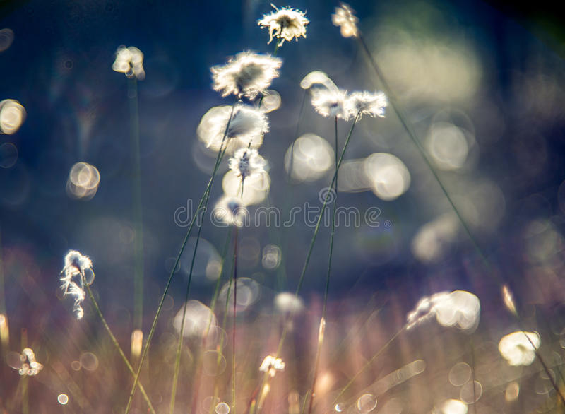 Cotton grass. Lithuanian marsh swamp plant blooming royalty free stock image
