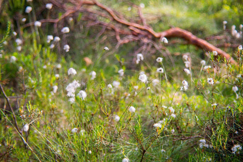 Cotton grass. Lithuanian marsh swamp plant blooming royalty free stock photos