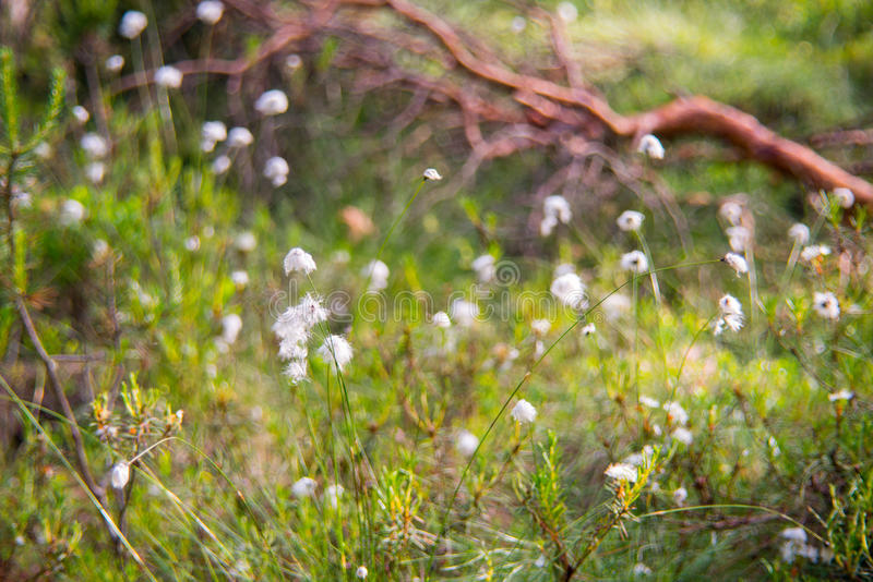 Cotton grass. Lithuanian marsh swamp plant blooming stock images