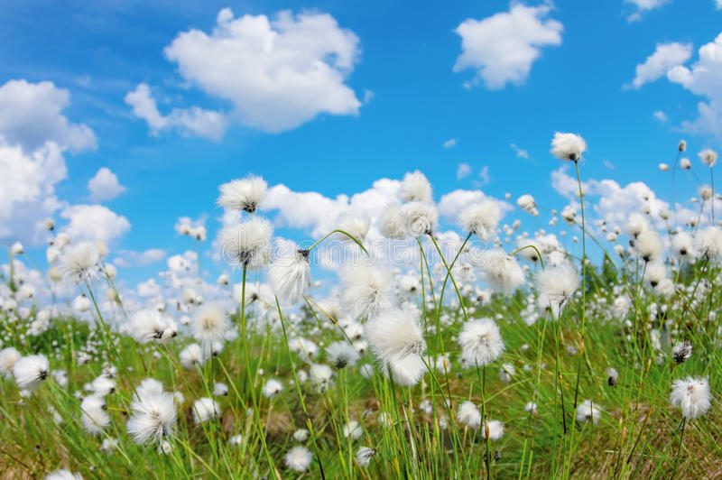 Cotton grass. Summer bright landscape with blooming cotton grass stock image