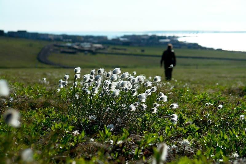 Cotton grass on the tundra of Chukotka. stock photo