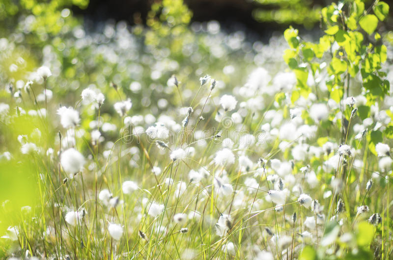Cotton grass. On the wet soil near the swamp royalty free stock photos