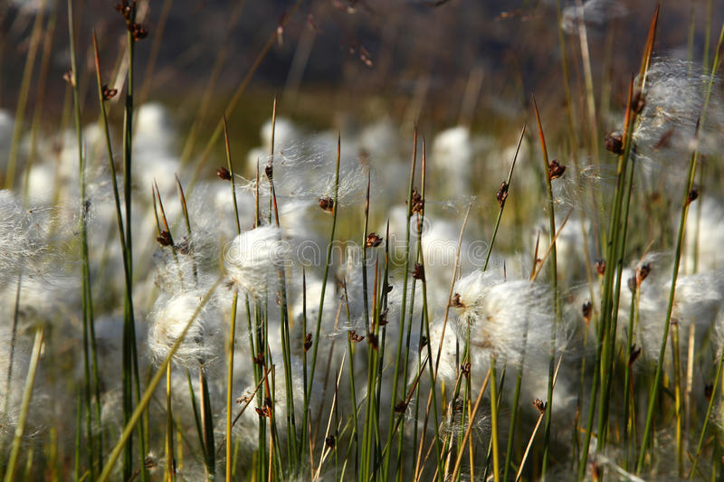 Cotton grass. In the wind royalty free stock image