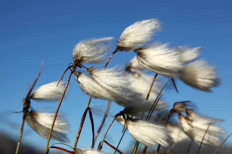 Cotton grass. In the wind royalty free stock photography
