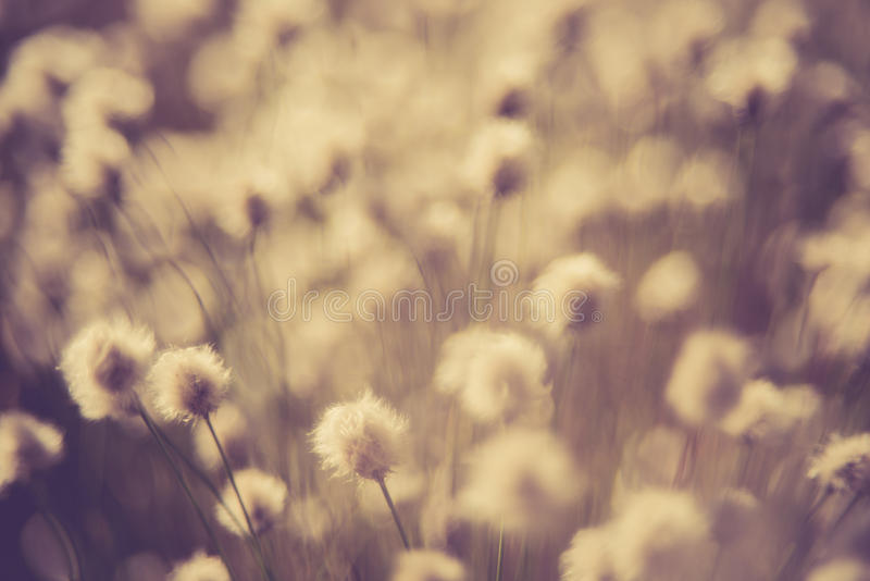 Cotton grass. Or Wollgras, or Eriophorum plant near swamp in Lithuania royalty free stock images