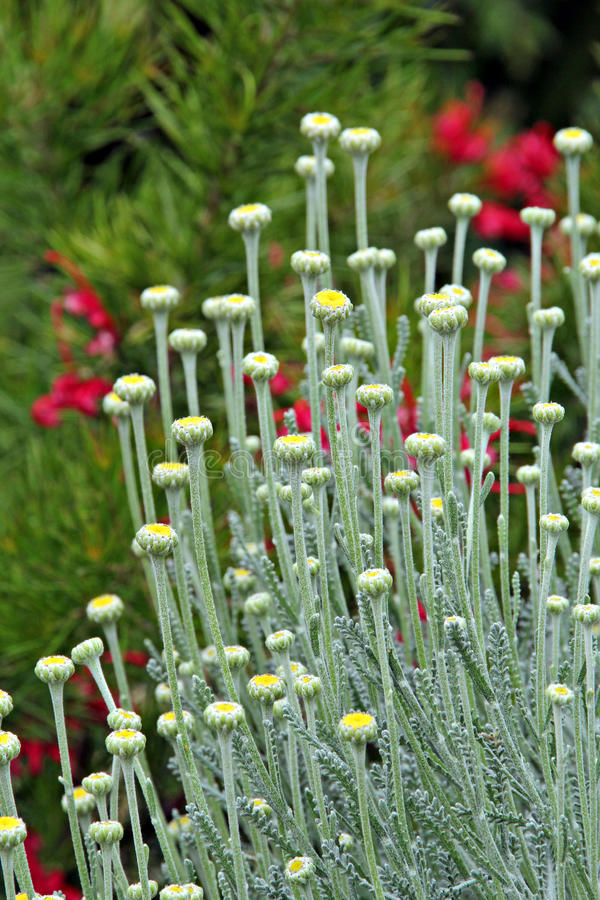 cotton lavender plant royalty free stock images