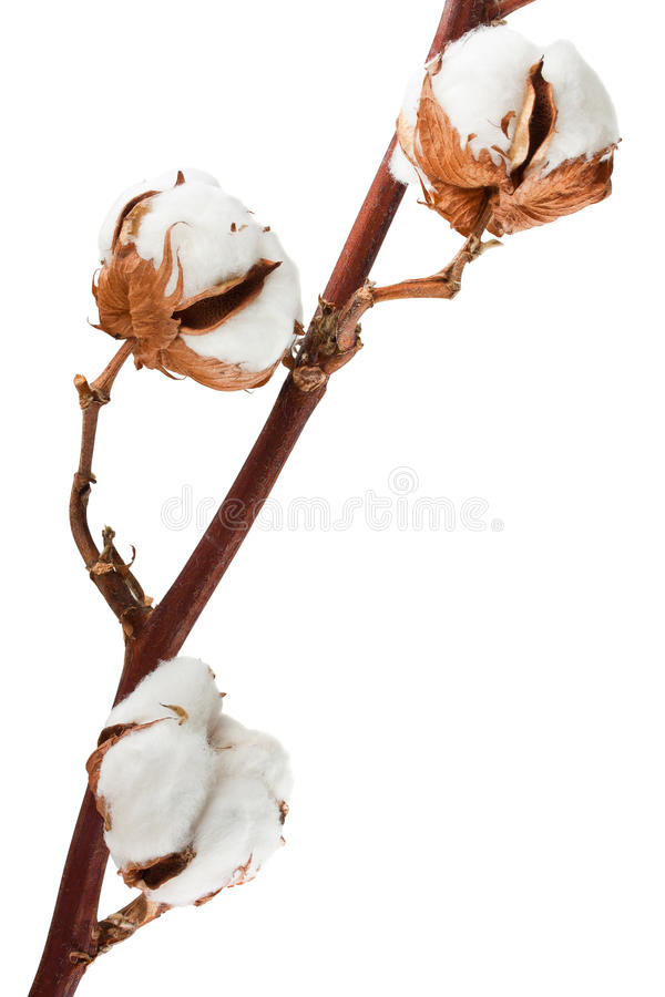 Download Cotton plant stock photo. Image of isolated, plant, botany - 22469802