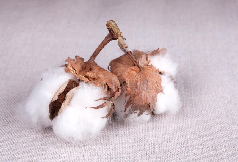 Download Cotton plant stock image. Image of closeup, material - 29065647