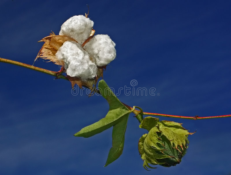 Download Cotton plant stock photo. Image of inedible, cotton, thirsty - 7718412