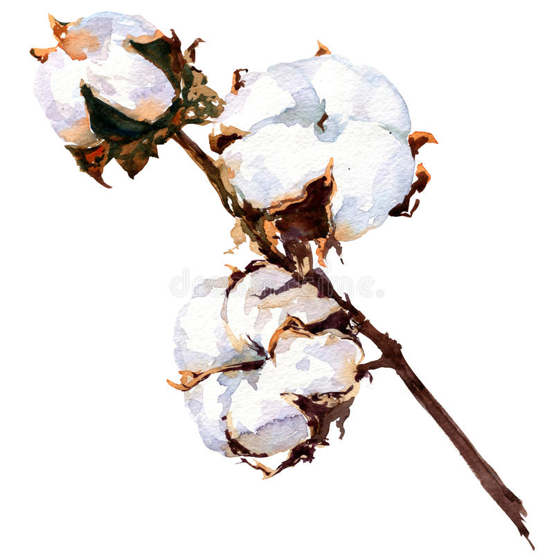 Cotton plant flower isolated, watercolor painting royalty free illustration