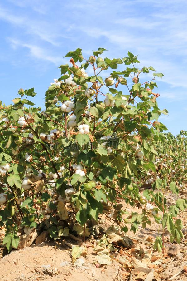 Download Cotton Plant At Irrigation Ditch Royalty Free Stock Photos - Image: 27242798