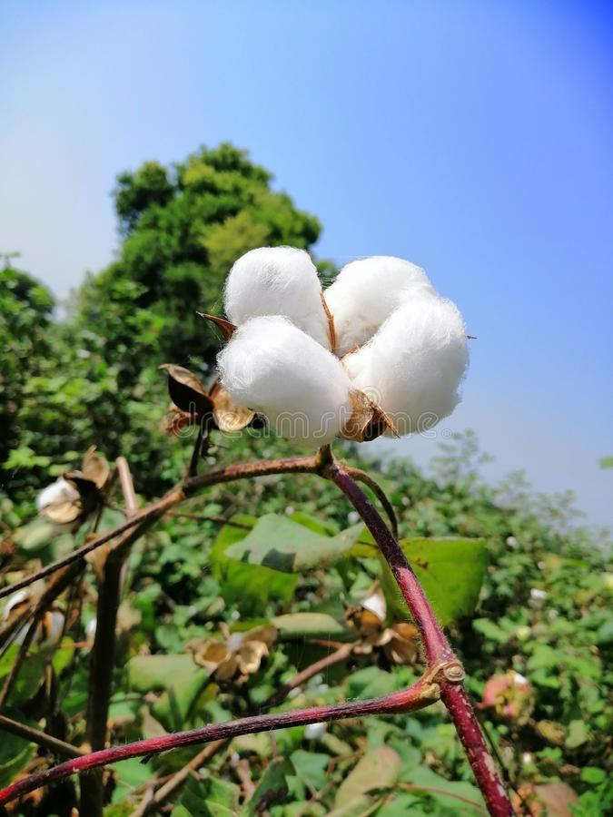 The Cotton Plant Punjab Region, India. This is a Cotton Plant Photo Taken from Punjab India region. The Bathinda region is famous for Cotton production royalty free stock photo