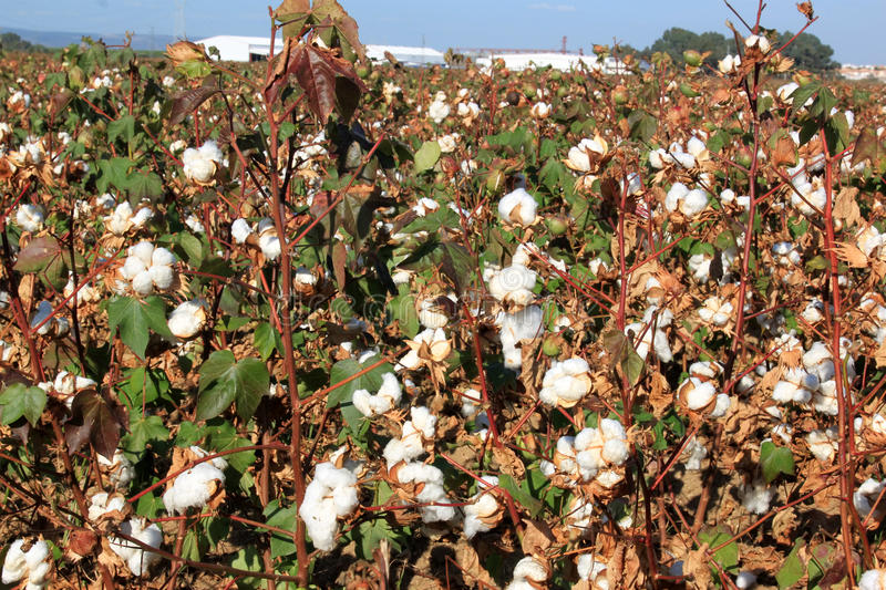 Download Cotton Plantation Near Seville In Andalusia, Spain Stock Photo - Image: 22812198