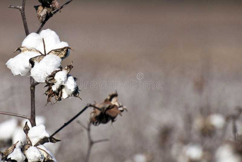 Download Cotton Plants stock photo. Image of grow, plant, field - 12735766