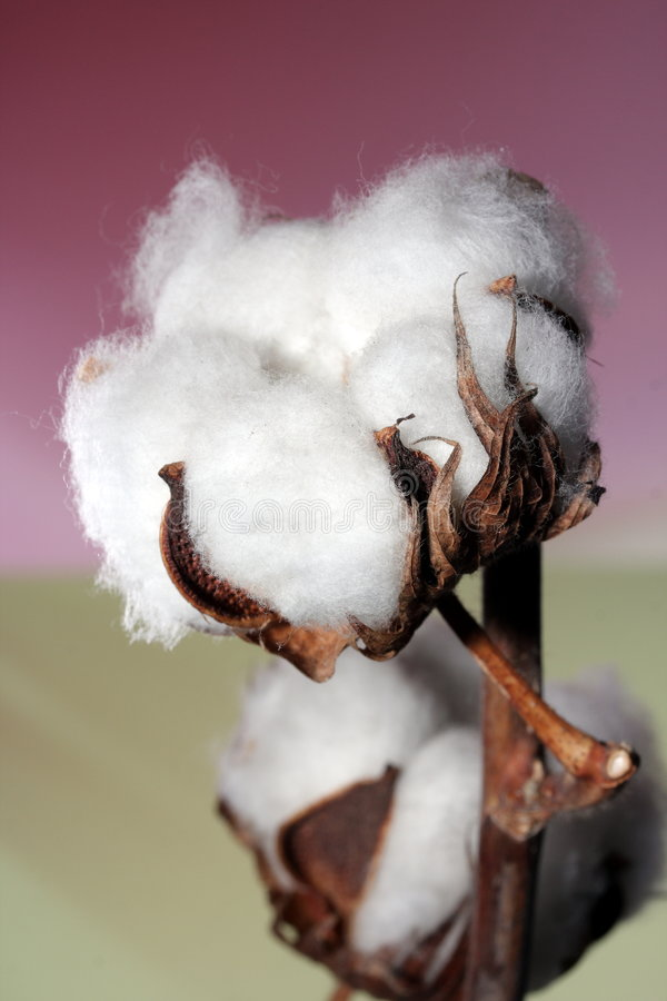 Cotton pods royalty free stock photography