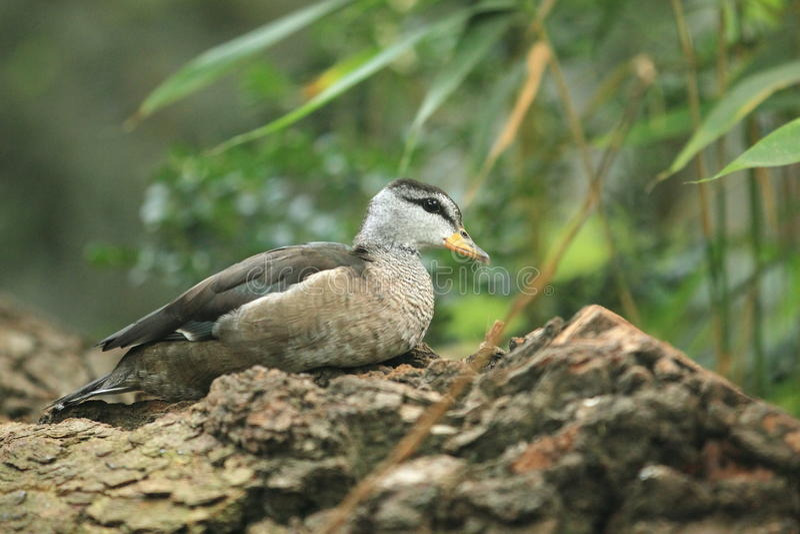 Cotton Pygmy Goose Stock Image