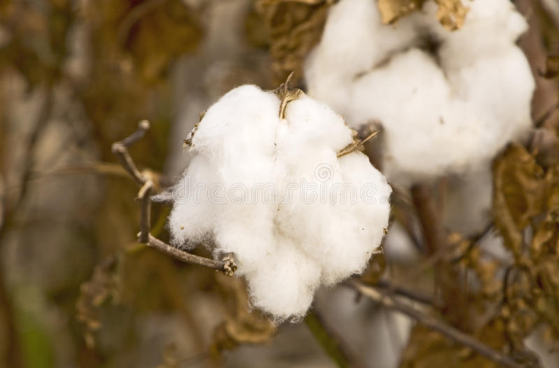 Download Cotton Ready for Harvest stock photo. Image of macro - 27717974