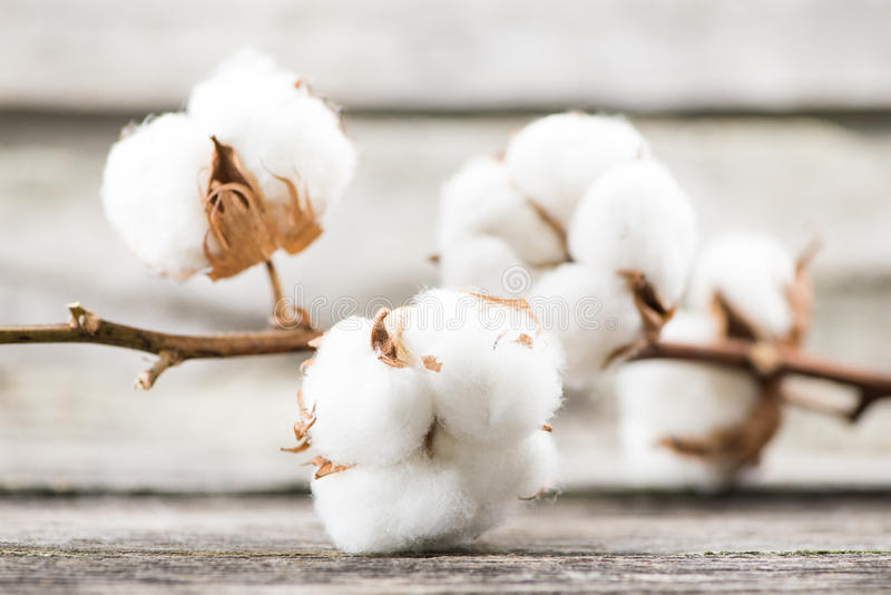 Cotton. Ripe cotton balls on branch, wooden background