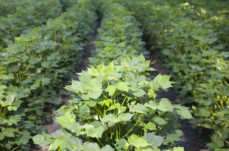 Download Cotton rows stock photo. Image of cotton, farm, farming - 26120010