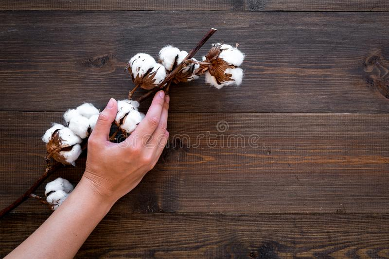 Cotton sorce. Collect cotton concept. Hand hold cotton flower. Cotton plant with white flowers, natural view on dark. Wooden background top view royalty free stock image
