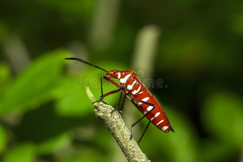 Cotton stainer on branches is considered an important insect stock image