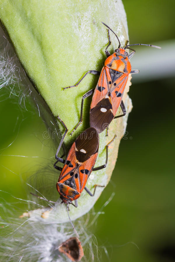Cotton Stainer Bug Royalty Free Stock Photo