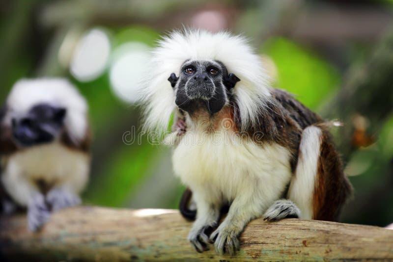 Download Cotton top monkey stock photo. Image of thinking, wild - 24108130