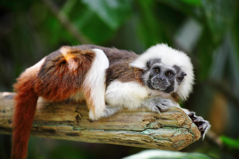 Download Cotton top monkey stock image. Image of branch, tropical - 24108135