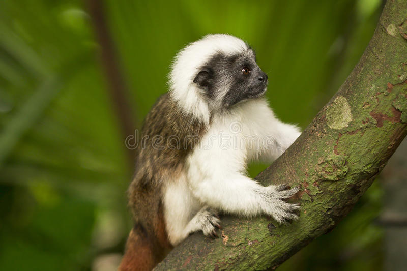Download Cotton top Tamarin stock image. Image of little, look - 12675805