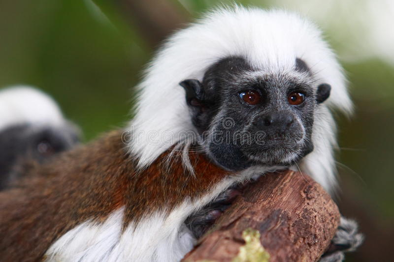 Download Cotton-top Tamarin stock photo. Image of cunning, primates - 21050140