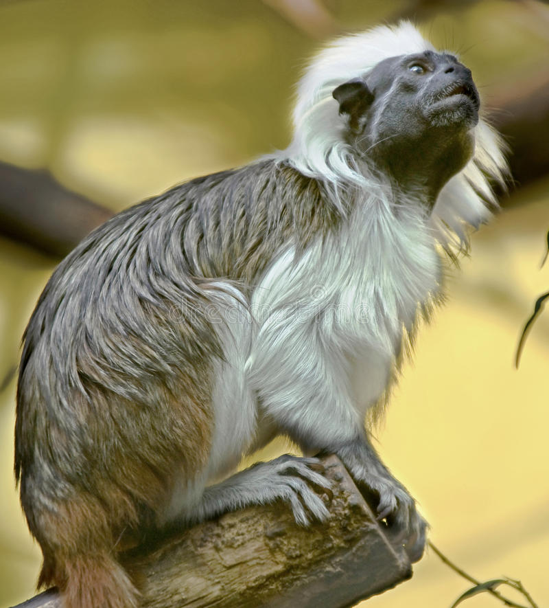 Cotton-top Tamarin 4