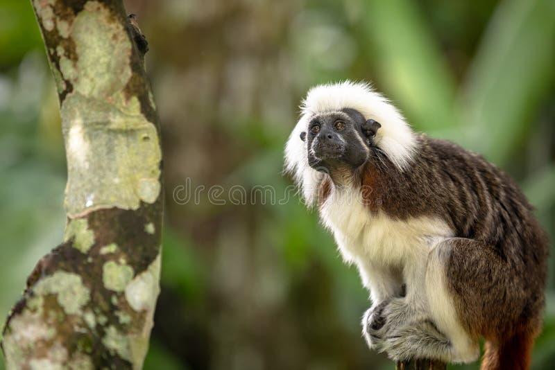 Cotton Top Tamarin Monkey, Saguinus oedipus, sitting in natural environment stock images