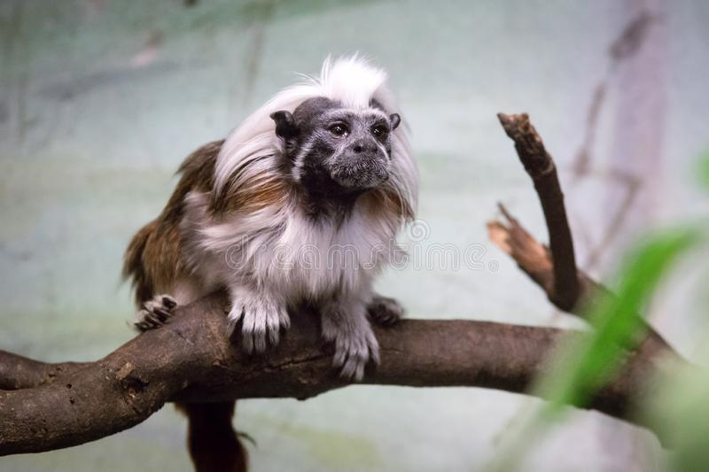 The cotton-top tamarin Saguinus oedipus is a small New World monkey. Weighing less than 0.5 kg 1.1 lb. This New World Monkey can live up to 24 years old, but royalty free stock image